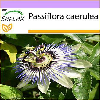 Saflax - 25 graines - fleur de la Passion - Passiflore bleue - Fiore della passione - Flor de la pasión - Blaue Passionsblume