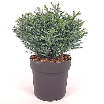 Hedges & Shrubs from Botanicly – False Cypress – Height: 20 cm – Chamaecyparis