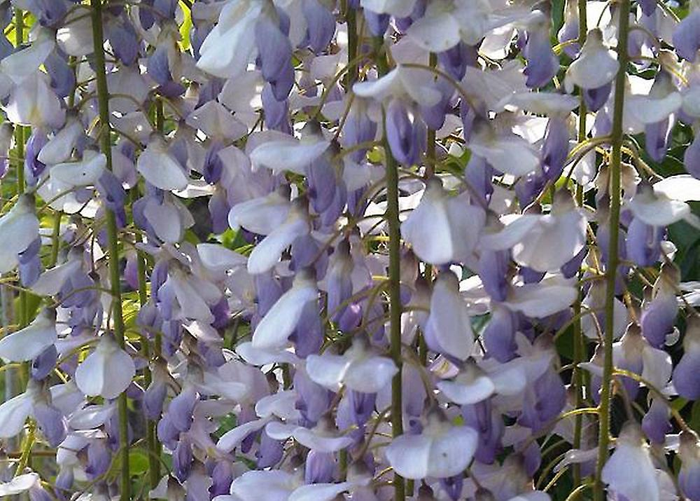 Wisteria sinensis 4 seeds SAFLAX Bonsai Blue Chinese Wisteria With soil