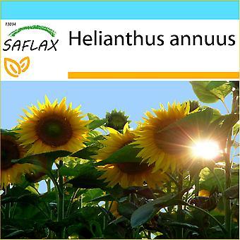 Saflax - Geschenk-Set - 20 Samen - Sonnenblume Titan - Tournesol Titan - Girasole Titan - Girasol Titan - Sonnenblume Titan