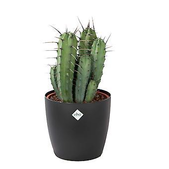 Myrtillocactus ↕ 50 cm verkrijgbaar met bloempot | Myrtillocactus geometrizans
