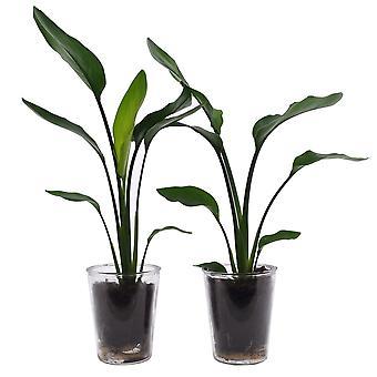 Duo Strelizia Reginea w szkle wazonowym - Wysokość 35 - Garnek średnicy 19