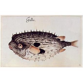 A Burrfish (colour litho) by John White - Art Print