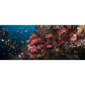 School of Blotcheye Soldierfish swimming underwater Sodwana Bay South Africa Poster Print