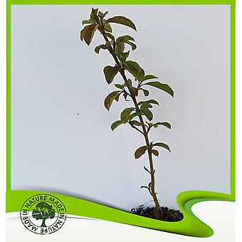 Cornus sanguinea (kornoelje)-plant