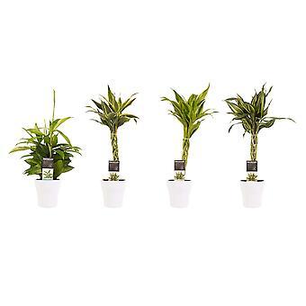 Drachenbaum ↕ 45 bis 45 cm verfügbar mit Übertopf