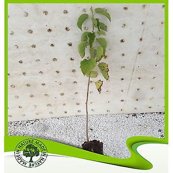 Morus nigra (zwarte moerbei)-plant