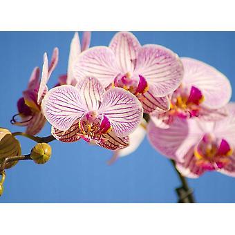 Behang muurschildering roze Phalaenopsis Orchid