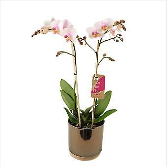 BOTANICLY Phalaenopsis Amaglad Soft - Schmetterlingsorchidee
