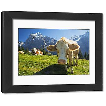 Swiss Cow. Framed Photo. A swiss cow peers in towards the camera while more relax across a meadow.