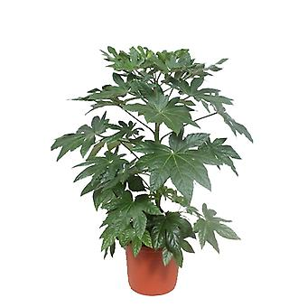 L'Aralie ↕ 100 à 140 cm disponible avec jardinière | Fatsia japonica