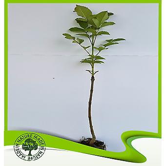 Fraxinus ornus (Manna Ash)-plant