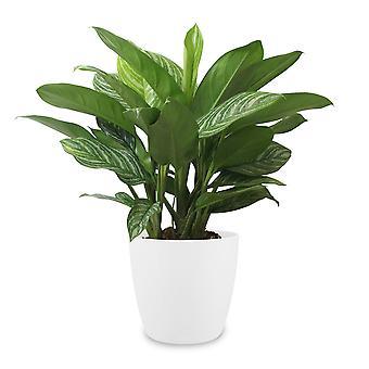 Aglaonema ↕ 70 tot 70 cm verkrijgbaar met bloempot | Aglaonema