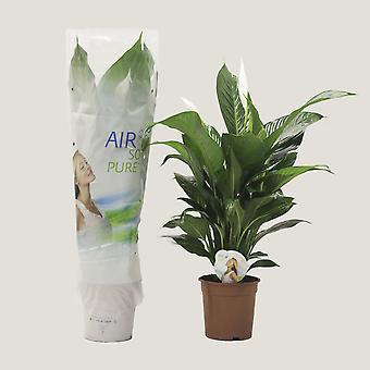 Inomhus Plant från Botanicly – Peace lily – Höjd: 85 cm – Spathiphyllum Largo Cupido