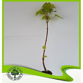 Acer pseudoplatanus (Sycamore esdoorn)-plant
