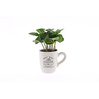 Pianta d'appartamento – Café arábico in vaso bianco come set – Altezza: 20 cm