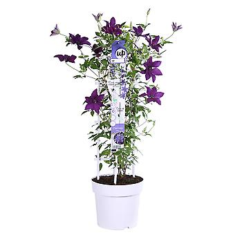 Up! Climbers - Clematis 'Masa' - outdoor plant in grower pot ø 23 cm - height 80-90 cm