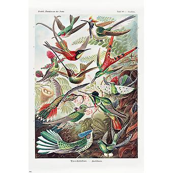 Cartel de colibrí Ernst Haeckel Art Forms of Nature,Panel 99 Trochilus, Trochilidae 91,5 x 61 cm
