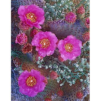 Beavertail Cactus flowering North America Poster Print by Tim Fitzharris