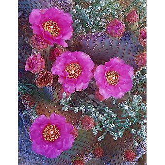 Beavertail kaktus blommande Nordamerika affisch Skriv av Tim Fitzharris