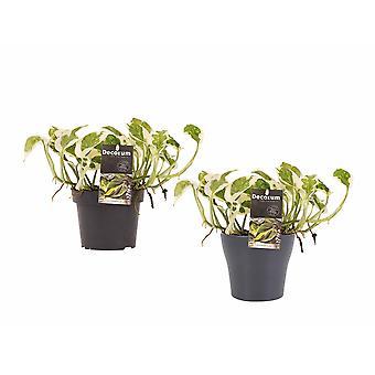 Epipremnum pinatum NJoy ↕ 15 tot 15 cm verkrijgbaar met bloempot | Epipremnum pinatum NJoy