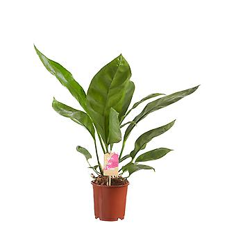 Indoor Plant from Botanicly – Flamingo Flower – Height: 60 cm – Anthurium Jungle King