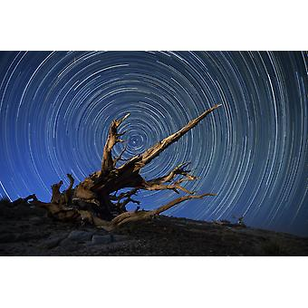 A lone bristlecone pine in the White Mountains of California Poster Print