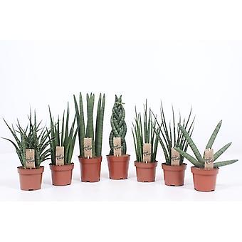Pianta d'appartamento da Botanicly – Lingua di Suocera – Altezza: 40 cm – Sansevieria Laurentii