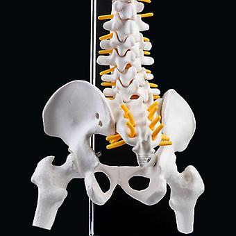 45cm Flexible Human Spinal Column Vertebral Lumbar Curve Medical Teaching Tool