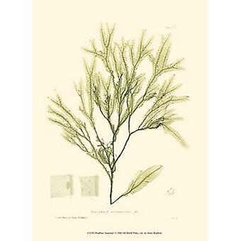 Seaweed I Poster Print by Henry Bradbury (10 x 13)