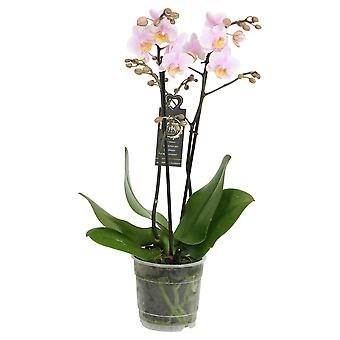Choice of Green - Phalaenopsis Amore Mio Amaglad - Butterfly Orchid