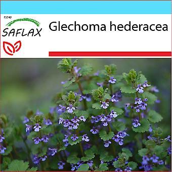 Saflax - Gift Set - 75 zaden - Ground ivy - Lierre terrestre - Edera terrestre - Hiedra terrestre - Gundermann / Gundelreebe