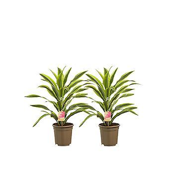 Drakträd ↕ 70 till 70 cm | Dracaena derem. Citron Lime