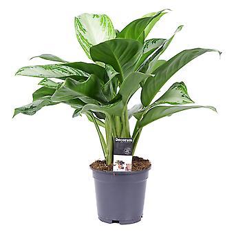 Planta Indoor de Botanicly – Evergreens chineses – Altura: 50 cm – Aglaonema commutatum Silver Bay