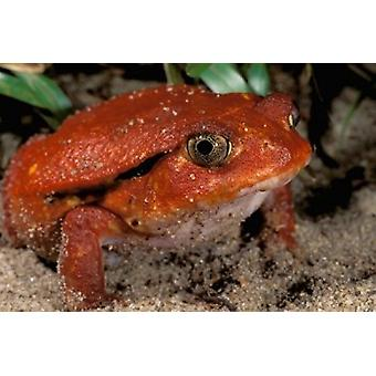 Africa Madagascar Tomato frog Poster Print by Pete Oxford