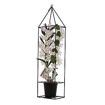 Orchid - Bamboo Orchid black metal runko asettaa – Korkeus: 78 cm, 2 varret, valkoinen-vaaleanpunainen kukkia