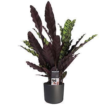 Kamerplant van Botanicly – Calathea Insigne incl. sierpot antraciet als set – Hoogte: 55 cm