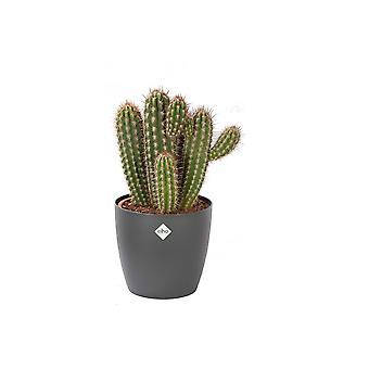 Pilosocereus Gounelii ↕ 50 cm disponibile con fioriera | Pilosocereus Gounelii