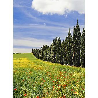 Maki i dzikich kwiatów w polu pszenicy, obok linii Cypress drzewa PosterPrint