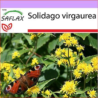 Saflax - 100 Samen - Goldrute - Solidage Rande d ' or - Verga d ' Oro - Vara de Oro - echten Goldrute