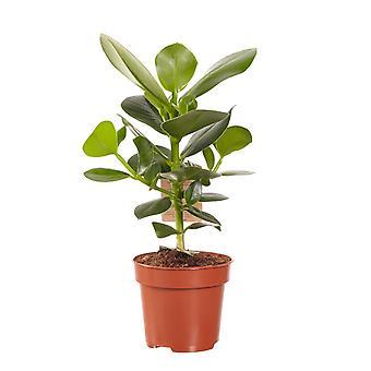 Plante d'intérieur de Botanicly – pommier baumier – Hauteur: 50 cm – Clusia Princess