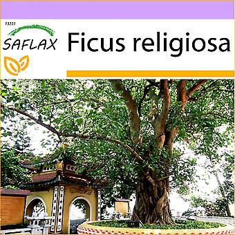 Saflax - 100 frø - Peepul treet / hellige Fig - Arbre de la Bodhi - Fico sacro - Higuera sagrada - Buddha-Feige / Bodhi-Baum