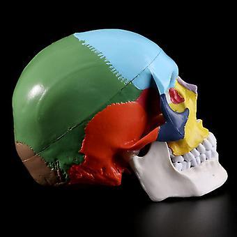 Life-size Human Skull Model Anatomical Anatomy Medical Teaching Skeleton