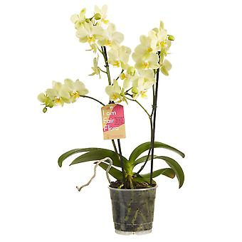 Choice of Green - Phalaenopsis multiflora Yellow - Butterfly Orchid