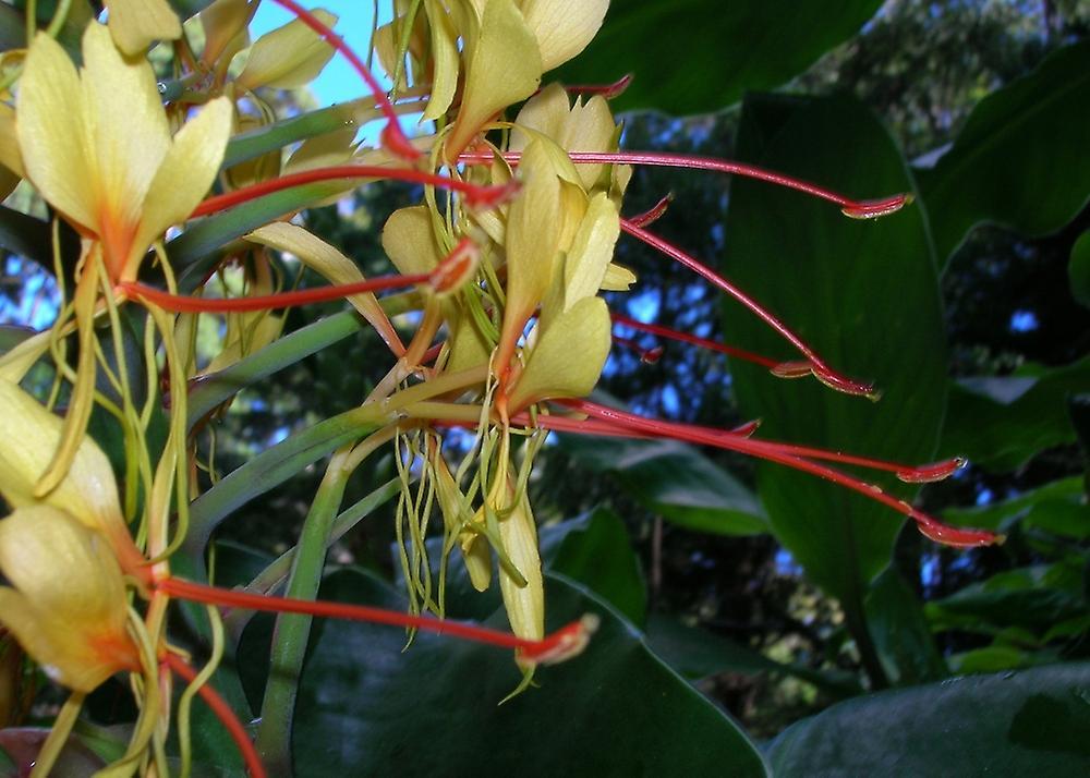 Saflax - 10 seeds - With soil - Red Ginger Lily - Longose - Giglio dello zenzero - Jengibre amarillo - Riesen - Schmetterlingsblume