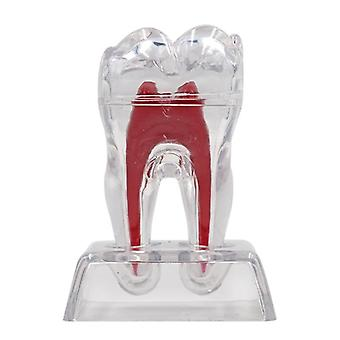 1pc Dental Base Hard Teeth Model- Detachable Tooth Molar Model, Separable Teeth