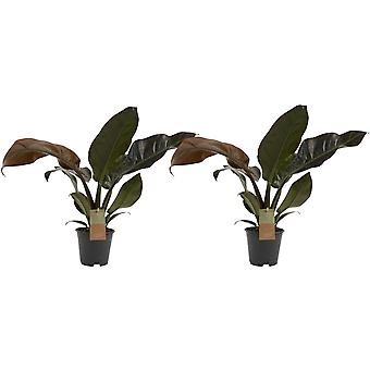 Kamerplanten van Botanicly – 2 × Philodendron Imperial Red – Hoogte: 45 cm