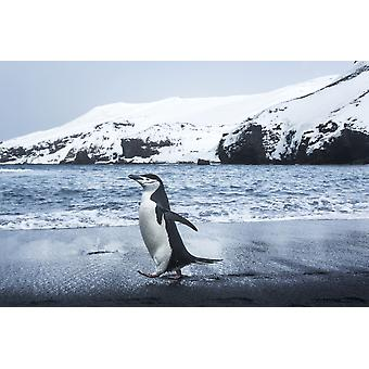 Antarctica South Shetland Islands Chinstrap Penguin (Pygoscelis antarcticus) walking on black volcanic beach on Deception Island PosterPrint