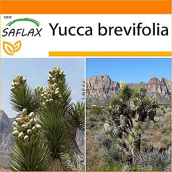 Saflax - jardim no saco - 10 sementes - Joshua Tree - Arbre de Josué - árvore de Joshua Albero di Giosuè - Árbol de Josué-