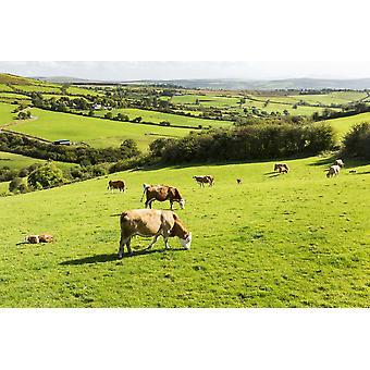 Vee grazen in de groene heuvelachtige weiden met bomen scheiden velden County Kerry Ierland PosterPrint
